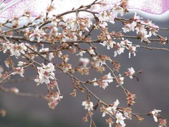 20091128-29-米沢-季節外れの桜.jpg